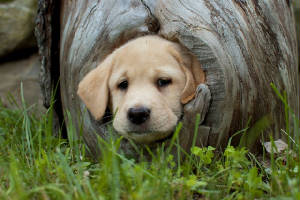 Yellow Labrador Puppy in a log