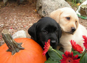 Black and Yellow Labrador pups with pumpkin