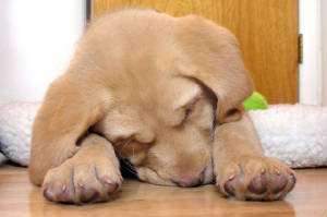 Yellow Labrador Retriever puppy sleeping