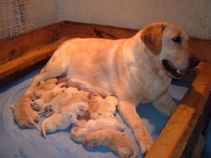 Yellow Labrador mother with her yellow litter of pups