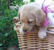 Yellow Labrador puppy with a pink bow