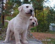yellow lab puppies checking out the camera