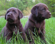 Chocolate Lab puppies in the grass